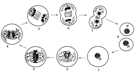 高中生物 题目详情  下图为动物细胞有丝分裂模式图,请回答问题