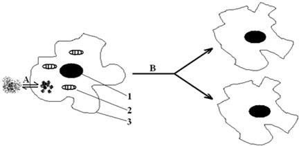变形虫是单细胞动物,依靠伪足运动,下图是变形虫的细胞结构和细胞生命