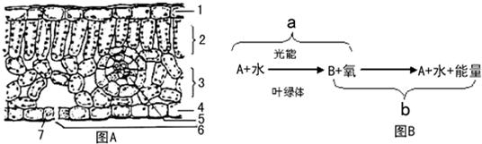 如图是叶的平面结构示意图和叶在夏季一天中进行物质转化的两种生理