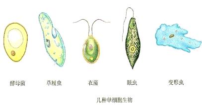 初中生物 题目详情   单细胞生物    草履虫    水生 分析:单细胞生物
