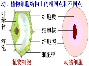下列哪项不是植物细胞和动物细胞都具有的结构