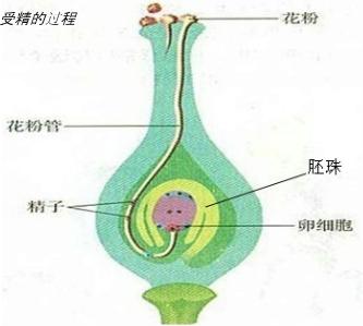 绿色开花植物成熟雌蕊的卵细胞一般位于下列哪一项结构中