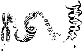 如图表示的是染色体和DNA的关系.请据图回答