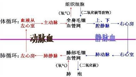 如图是人体血液循环与气体交换关系示意图,据图回答