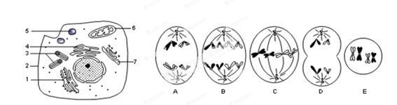 甲是某高等动物细胞亚显微结构图;图乙是该动物体内5个不同分裂时期
