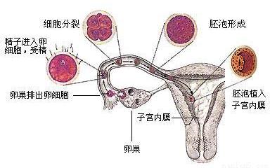 色情囹�a��dy��yd�a�9�_初中生物 题目详情  d 【解析】 从图中可以看出精子与卵细胞是在