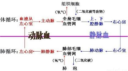 考点:血液循环的途径.图片