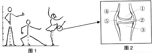 (2)图2为关节的基本结构简图,[ ]关节面上覆盖一层 ,[⑤]关节腔内有