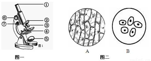 请根据图示回答v鳞片鳞片洋葱叶表皮细胞临时基围虾虾尾黑图片