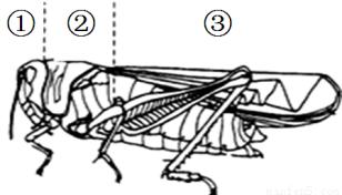 根据蝗虫的形态结构示意图.回答下列问题, 1 蝗虫的身体分为三个部分 ① .② .③ , 2 三个部分中. 是蝗虫的运动中心,它的运动器官包括三对 .两对 , 3