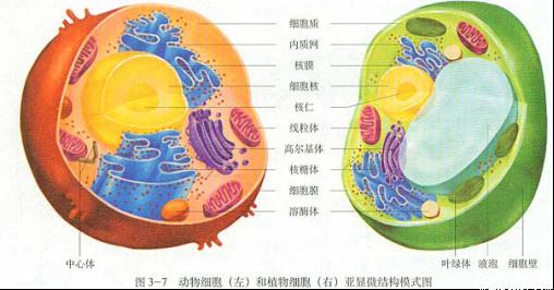 植物细胞二合一亚显微结构模式图.根据图片