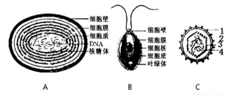 如图分别是蓝藻(a),衣藻(b)和病毒(c)的结构模式图.请据图回答