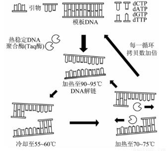 pcr是聚合酶链式反应的缩写,利用pcr技术可对目的基因进行扩增.