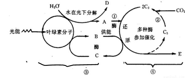 相关叙述错误的是A.图中实线表示体液免疫过程.虚线表示细胞免疫过
