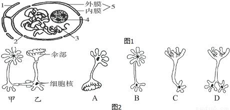 (4)一同学将图2乙伞藻的细胞核与伞部去掉,并将甲伞藻的细胞核移入乙