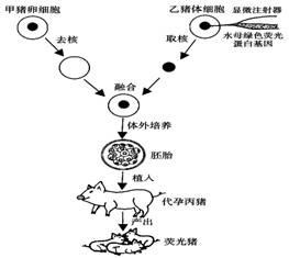 2006年12月22日.中国培育出的首例绿色荧光的转基因克隆猪在东北农业大学顺利降生.下图为研究人员繁殖荧光猪的过程示意图.请分析回答 1 在这项研究中.被研究的性状是