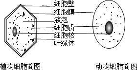 技能熟练.科学操作. 1 显微镜结构和功能.图1中A和B所示结构的作用是升降 2 徒手切片.如图2所示.用右手捏紧并排的两片刀片.沿着图中叶片虚线的方向. 切割.实验用的刀片非常锋利