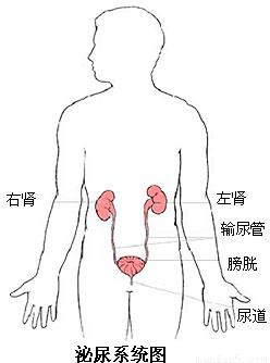 下列图1.图2分别是人体泌尿系统组成模式图和