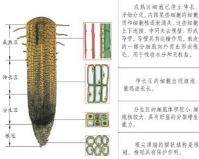 在植物的根尖结构中,生长最快的部分和吸收水分的主要部位分别是( )
