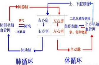人体的血液循环两条路线在( )交汇.图片