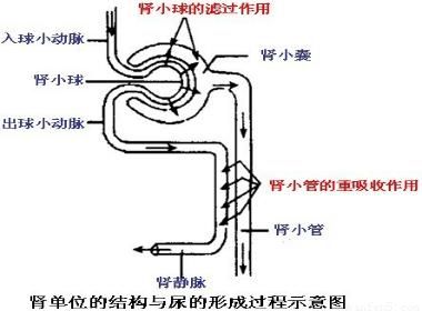 该题要从肾单位的结构和尿的形成过程两个方面考虑解答.