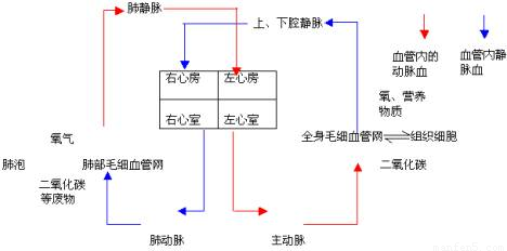 肺和心脏结构图