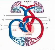下图为人体的血液循环示意图.请根据图回答问题图片