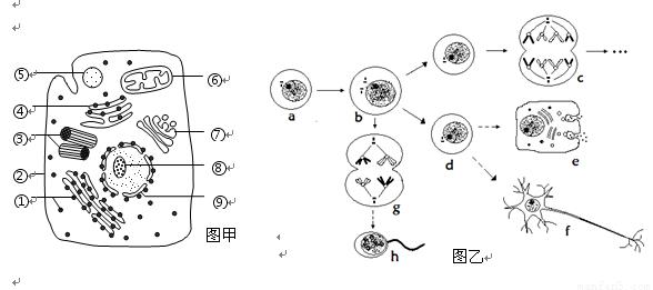 (7分)下图甲是某高等动物细胞亚显微结构示意图,图乙是该动物体内5个不同分裂时期细胞图。请据图回答以下问题。  (1)甲图中具有核酸的结构有______________(填序号)。上的___________在细胞互相识别时起重要作用。 (2)甲图中[ ]________(填序号和名称)是膜面积最大的细胞器,为多种酶提供了大量的附着位点,有利于膜上化学反应的进行。 (3)在乙图中:[]染色体上有____________条脱氧核苷酸链。含有四个染色体组的细胞分裂图像是_____________(填字母),D