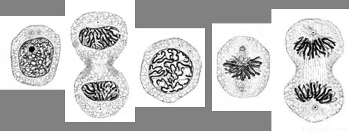 下图是一组动物细胞有丝分裂图.abcde代表细胞分裂的.