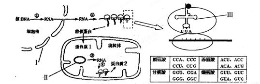 左下图为某种真菌线粒体中蛋白质的生物合成示意图,右上图为其中一个生理过程的模式图。请回答下列问题:  (1)结构、代表的结构或物质分别:________、________。 (2)完成过程需要的物质是从细胞质进入细胞核的。它们是________。 (3)从图中分析,基因表达过程中转录的发生场所有________。 (4)根据右上表格判断:________。携带的氨基酸是________。若蛋白质2在线粒体内膜上发挥作用,推测其功能可能是参与有氧呼吸的第________阶段。 (5)用-鹅膏蕈碱处理