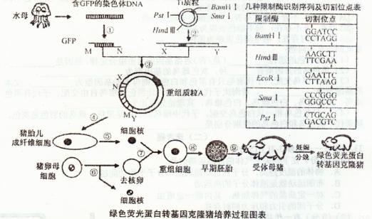(1)若图中GFP的M端伸出的核苷酸的碱基序列是TCGA,N端伸出的核苷酸的碱基序列是TGCA,则在构建含该GFP的重组质粒A时,应选用的限制酶足过程需要的酶是____. (2)过程将基因表达载体导入猪胎儿成纤维细胞常用的方法是__________。 (3)检测GFP是否已重组到猪胎儿成纤维细胞的染色体DNA上,可采用__________技术进行检测。 (4)图中猪的卵母细胞应处于________期,此时在显微镜下可观察到在卵黄膜和透明带之间有__________个极体。用于核移植的导入了基因
