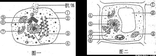 下图是三种细胞的亚显微结构示意图,请据图回答: (1)图一细胞中与合成和分泌抗体有关的细胞器是______(填标号);其中具有膜结构的细胞器有_______(填标号);依次经过的细胞结构是_______(填标号)。 (2)图二中能被健那绿染液染成蓝绿色的结构是_____(填标号),蛔虫中_______(填没有或有)该结构。 (3)图二中与的形成有关的结构是________(填标号),具有膜结构的是_______(填标号)。 (4)图三若是一个心肌细胞,细胞中的细胞器[ ]______较多,这与它不