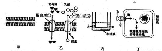 图乙表示人的红细胞膜的结构示意图及葡萄糖和乳酸的跨膜运输情况,图