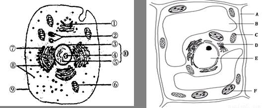 (共10分)下图为某人体细胞示意图和植物细胞亚显微结构示意图,据图