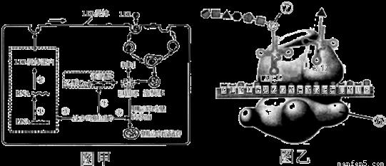 图甲表示人体细胞结构示意图,乙表示正在出芽的酵母菌,请据图回答.